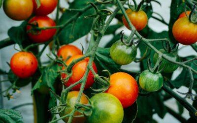 Pomidory – sezonowy niezbędnik cz.1